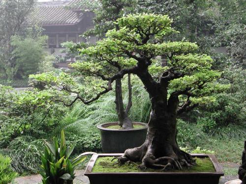 Дерево счастья в доме по фен-шуй