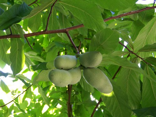 Выращивание саженцев азимины